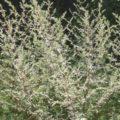 Xərçəngi 16 saata yox edən bitki kəşf olundu